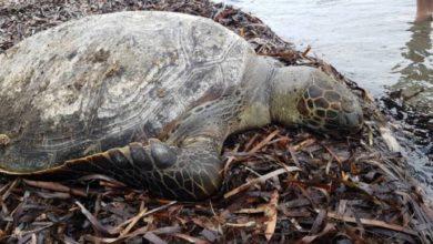 Dead Turtle Found In Northwest Of Bahrain